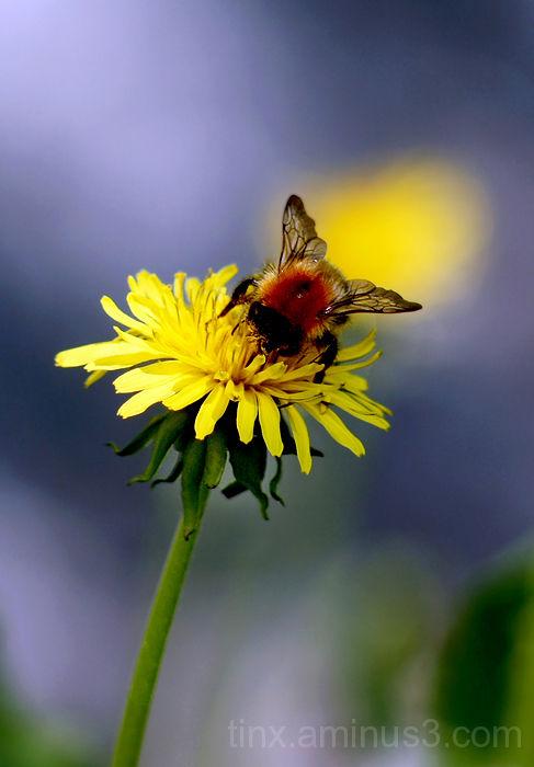 Põldkimalane, Common carder bee, Bombus pascuorum