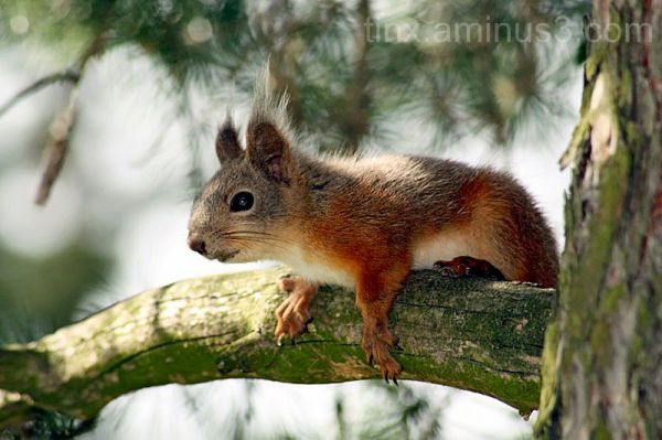 Orav, Red squirrel, Sciurus vulgaris