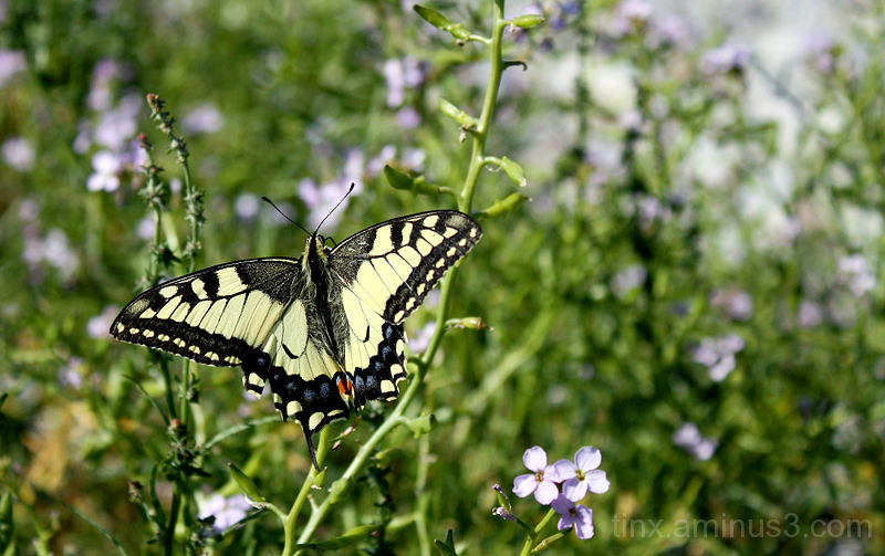 Pääsusaba, Swallowtail butterfly, Papilio machaon