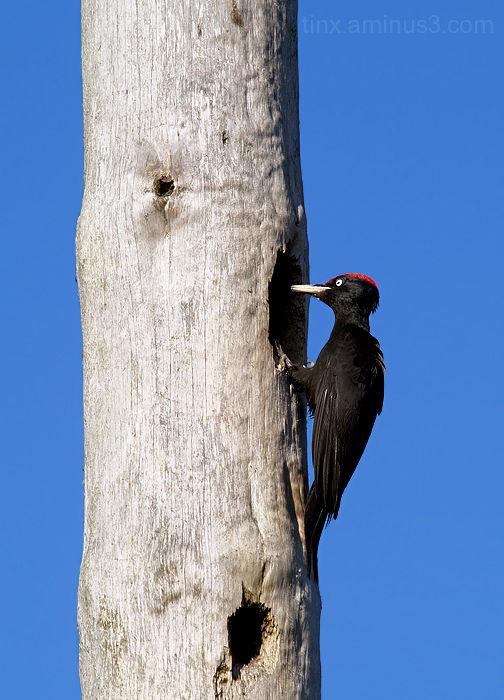 Musträhn, Black Woodpecker