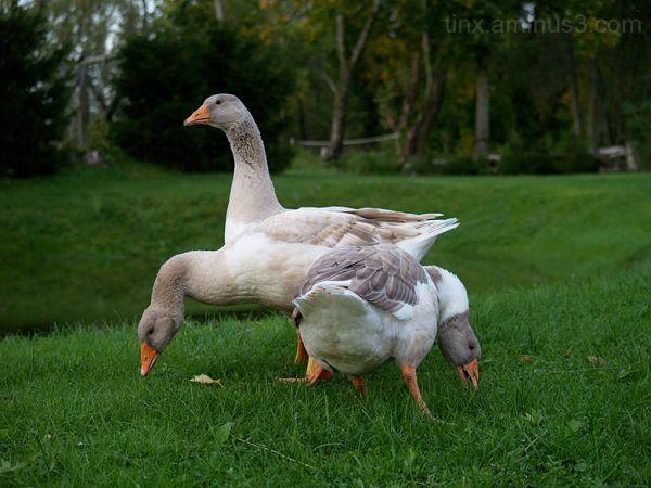 Haned, Geese