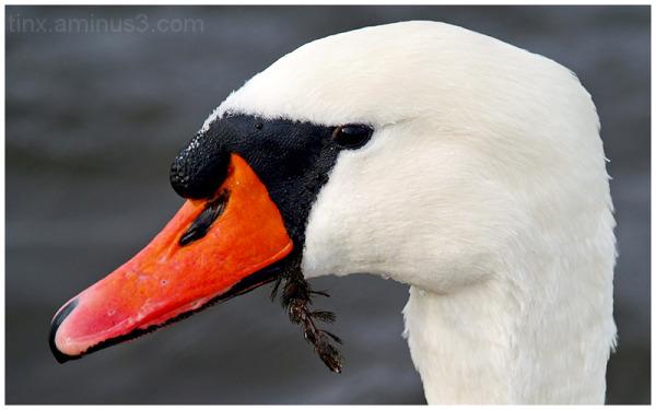 Kühmnokk-luik, Mute swan