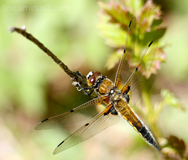 Kiil, Dragonfly