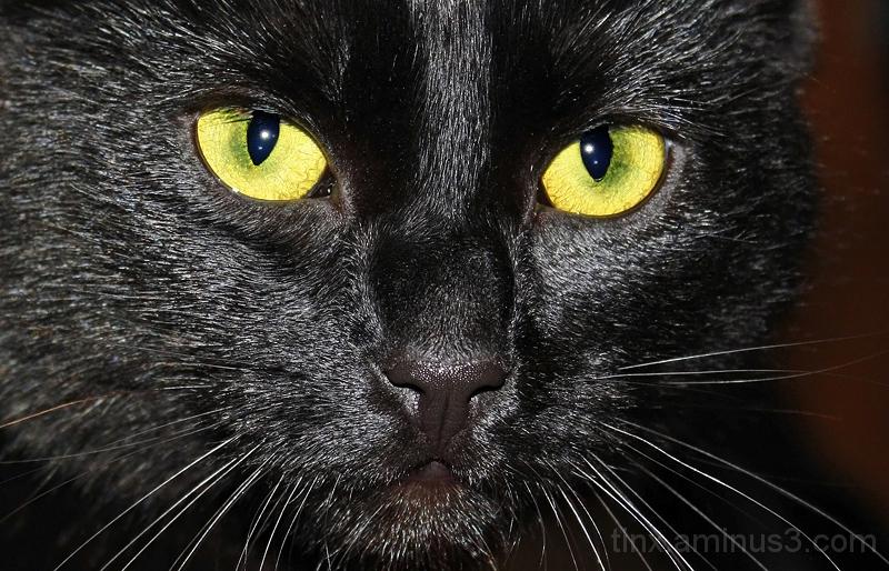 Must kass, Black cat