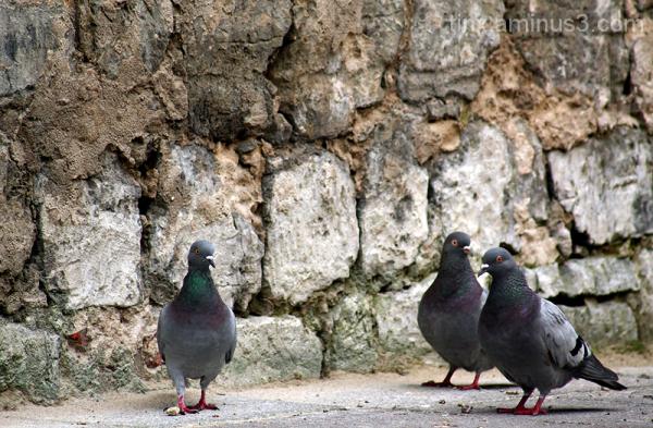 Tuvid, Pigeons