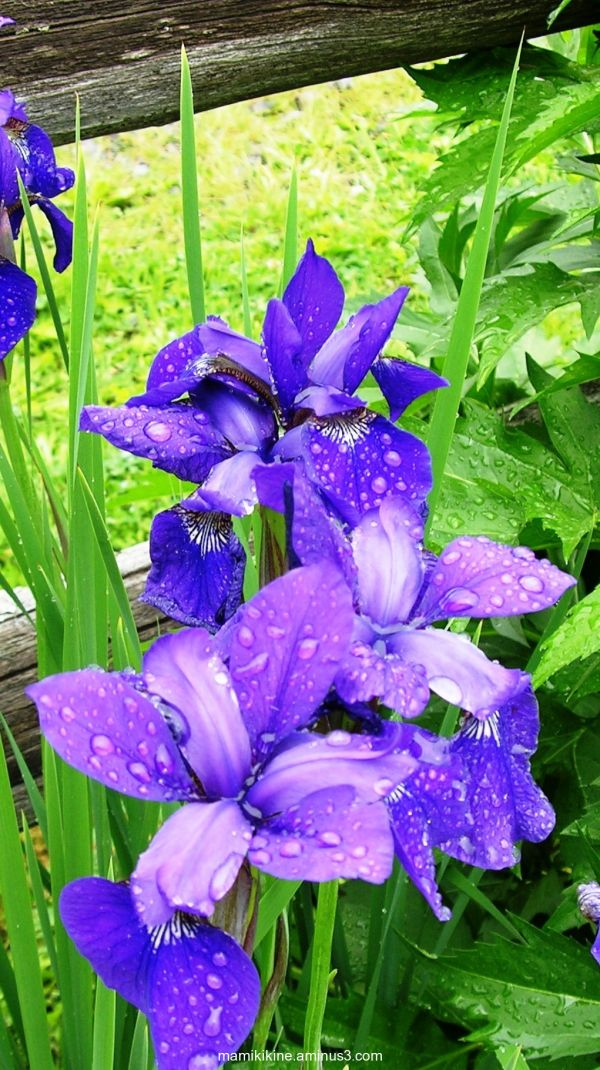 Iris bleu sous la pluie, Blue iris in the rain