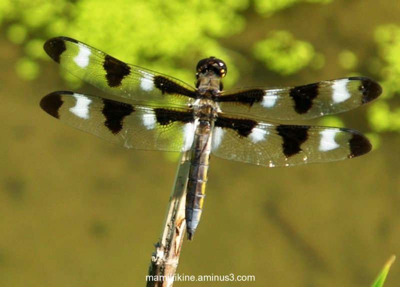 Jolie libellule, pretty dragonfly