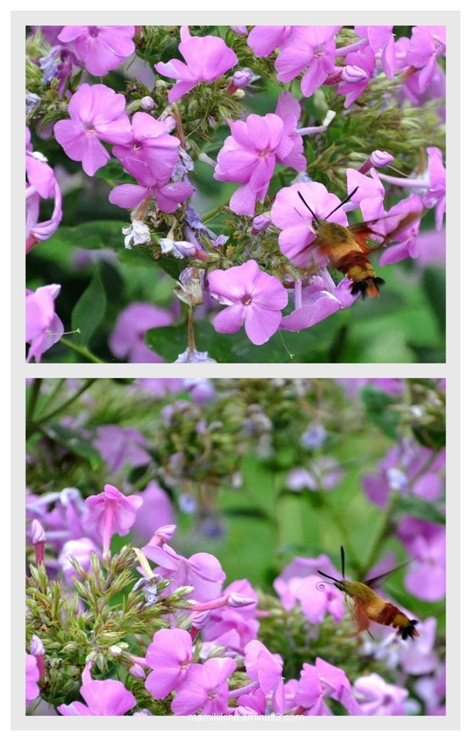 Sphinx colibri,Hummingbird Moths