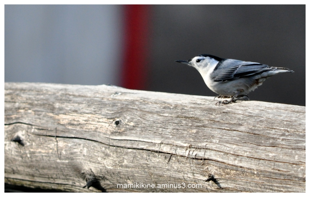 Sitelle, Nuthatch