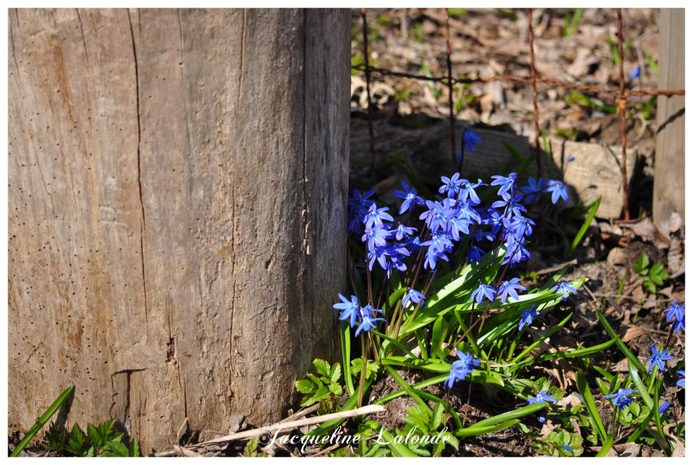 Les fleurettes bleues-2, The blue flowers-2