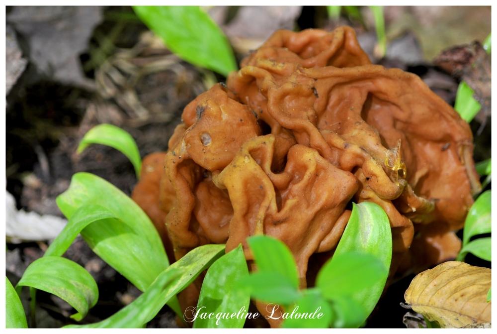Découvert dans la forêt, discovered in the forest