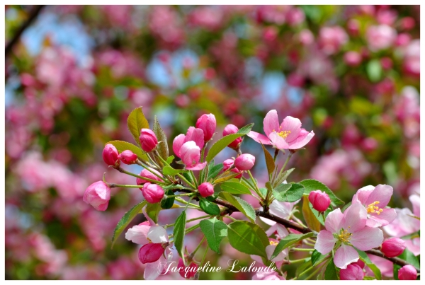 Le pommetier est en fleur, crabapple is in bloom