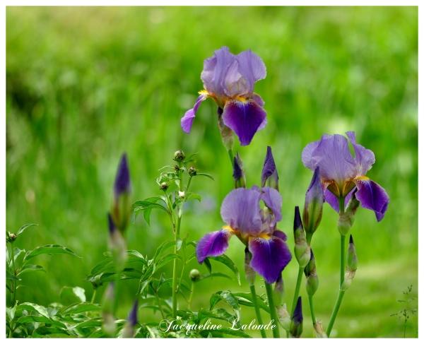 Mes iris prérérées, my favorite irises