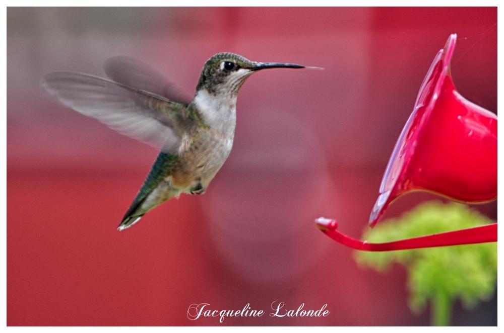 Colibri, hummingbird
