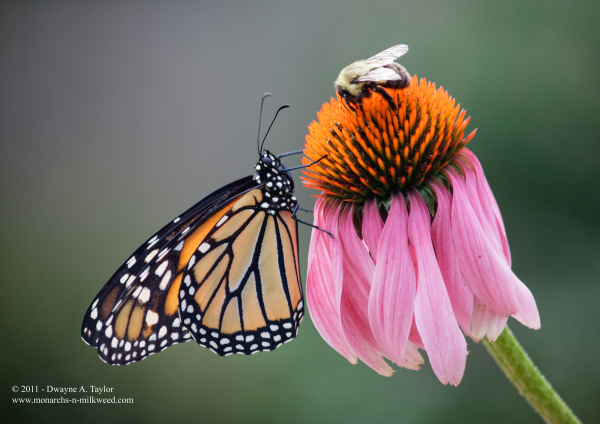 A Monarch and a Bee share a Purple Coneflower