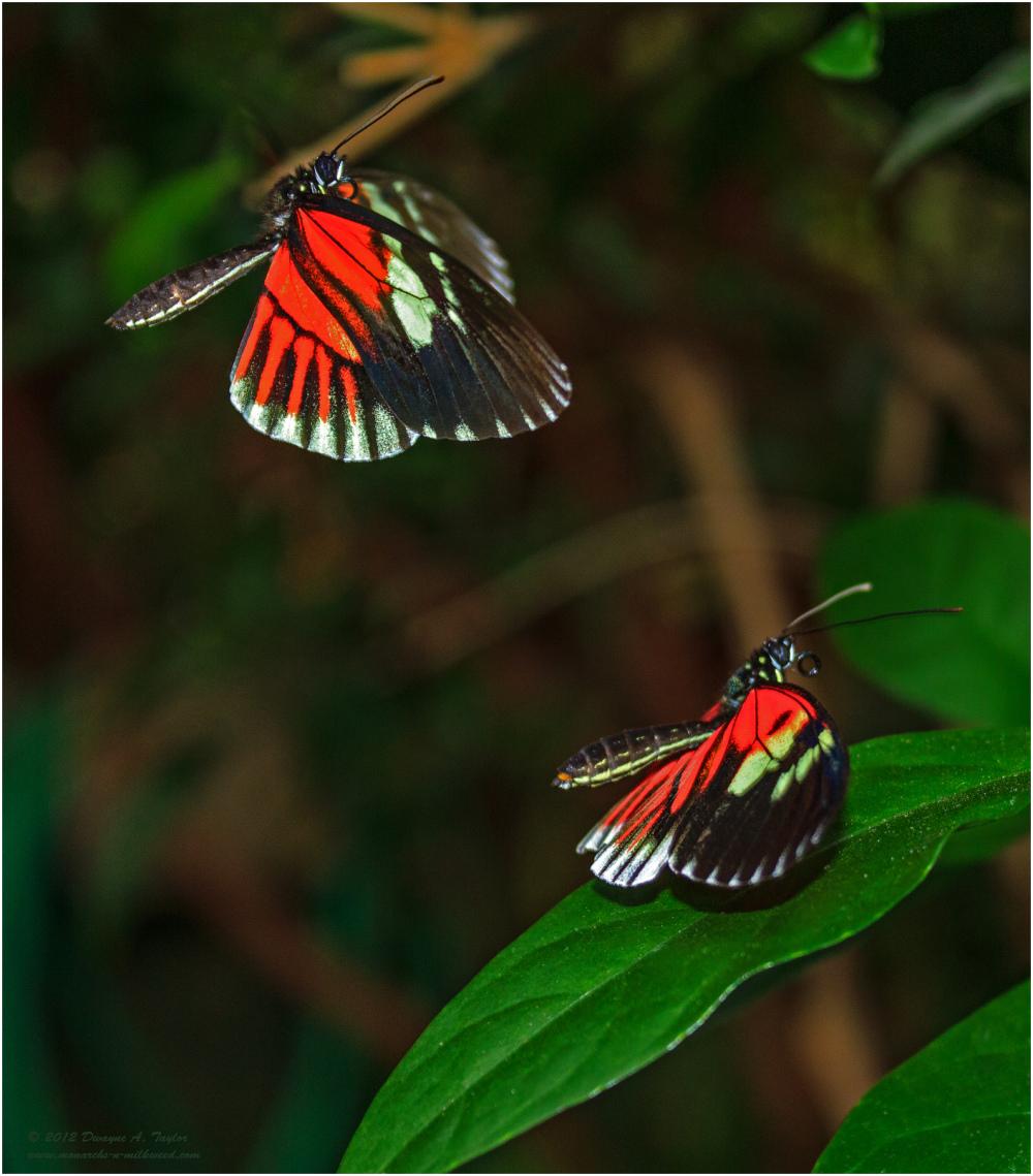 Frisky Doris Butterflies
