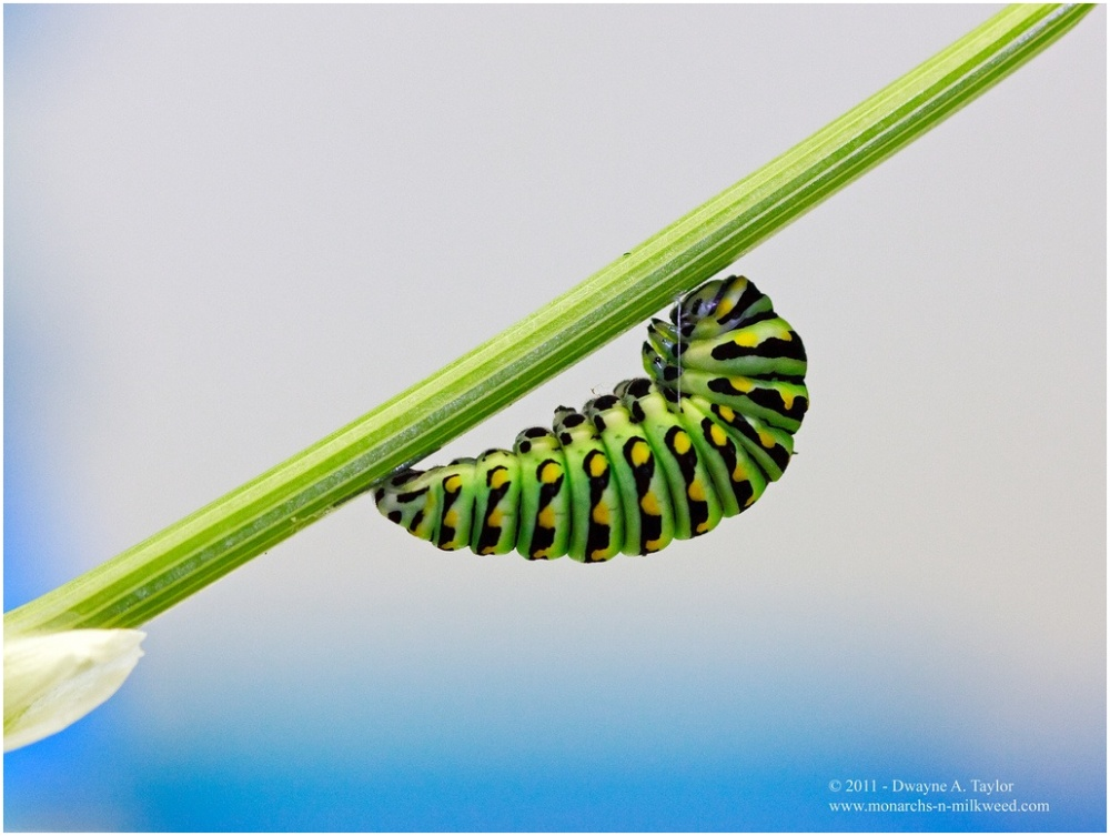 Black swallowtail caterpillar ready for pupation