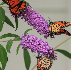 Monarch Migration 2012