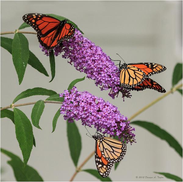Monarch Migration 2012
