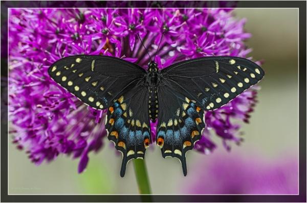 Black on purple