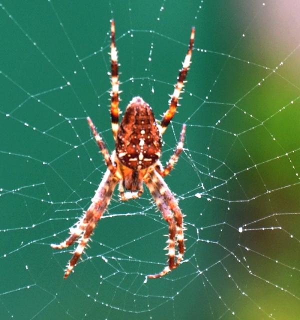 Demoiselle araignée