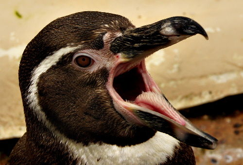 Pingu..