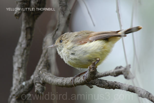 Yellow (Little) Thornbill