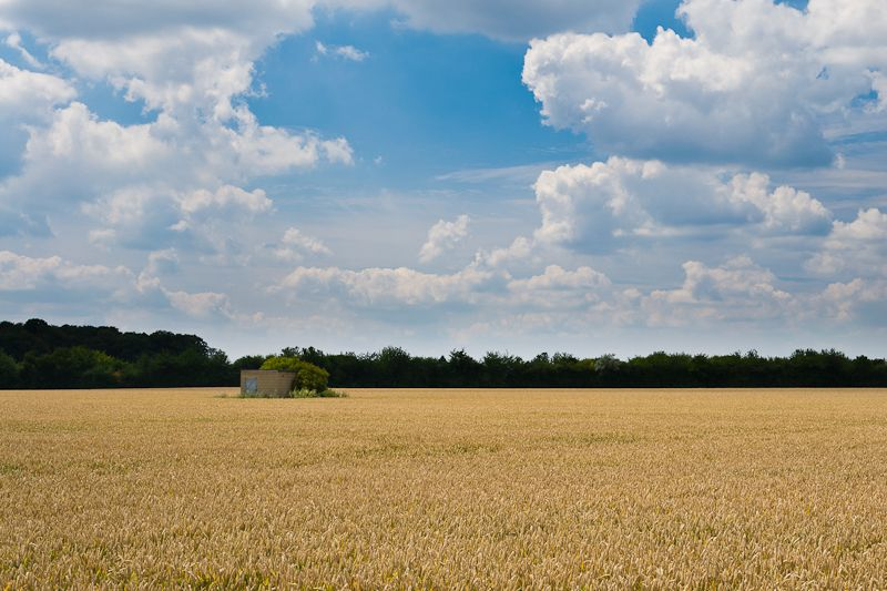 Photograph of a Wheat Field