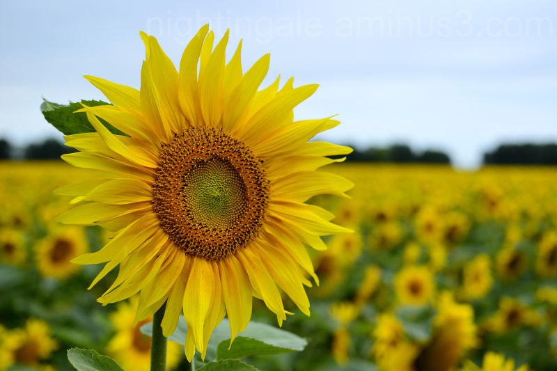 One sunflower lifts its head in an unending field
