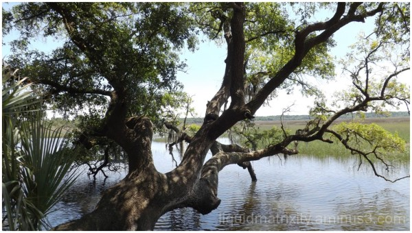 Oak on the Marsh
