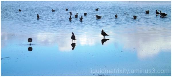 Blue Gulls Reflecting