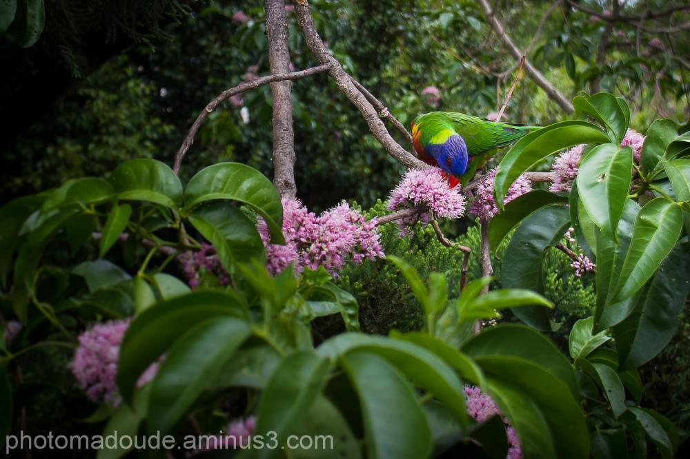 Petits perroquets communs d'Australie