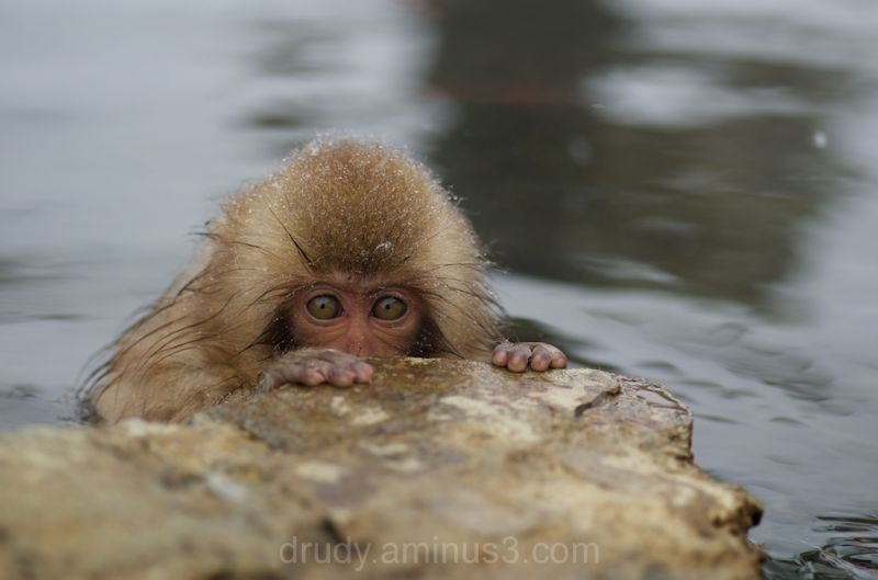 monkey, sauna, hot tub, soak, japan, macaque, snow