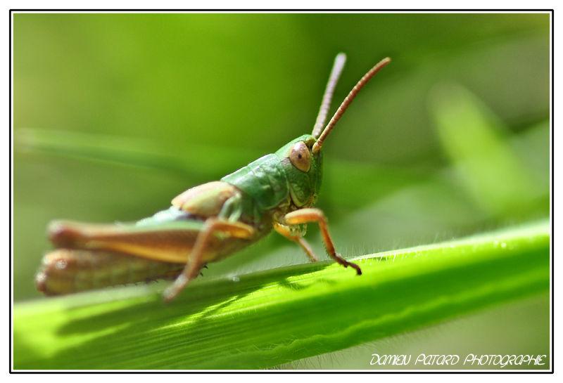 sauterelle grasshopper macro criquet caelifère
