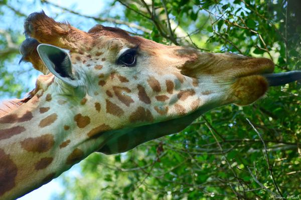 girafe Afrique zoo Cerza savane
