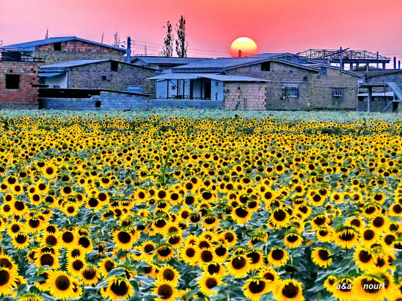 sunflowers in sunset light