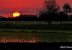 Sunset on rice field