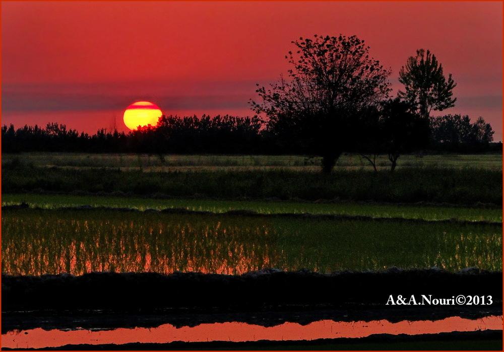 Sunset on rice field