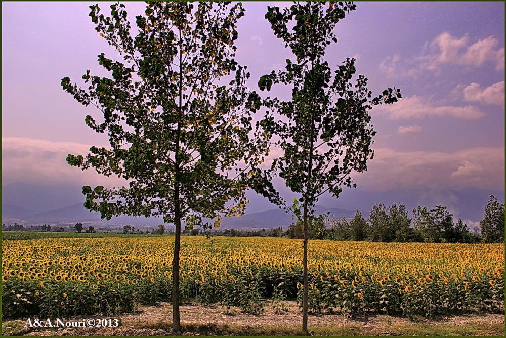 guarding sunflowers