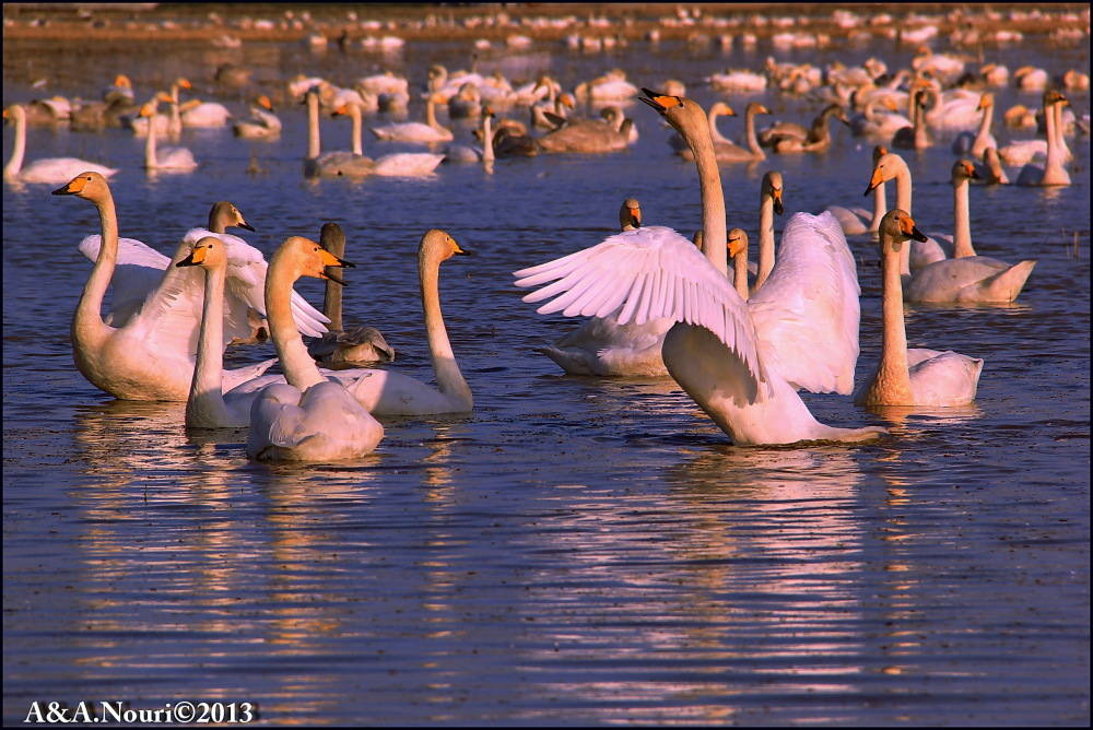 swan,iran,mazandaran,2013