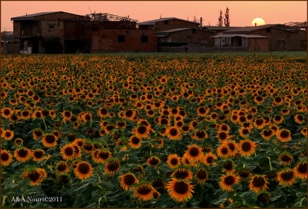 sunflowers and  sunset