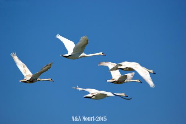 Swans' harmony