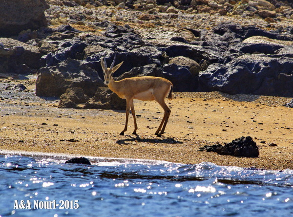 Gazelle in the beach