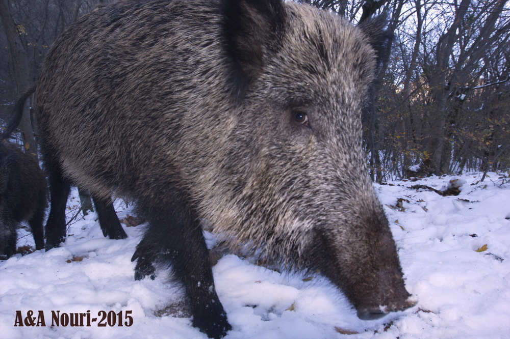 very near shot of a boar