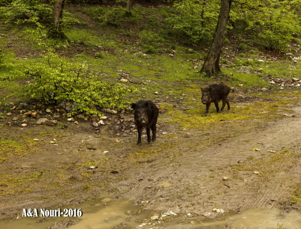 curious boars