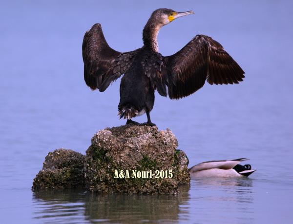 cormorant's voice