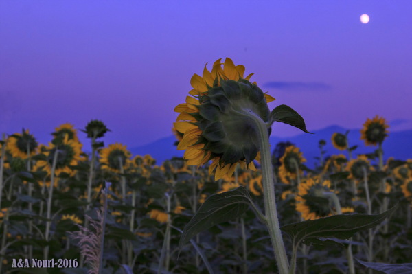 when sunflowers prepares to sleep
