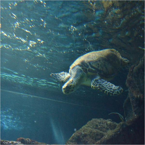 Tortue (Aquarium)
