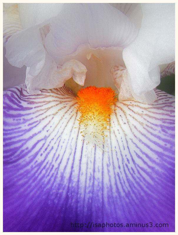 Douceur iris