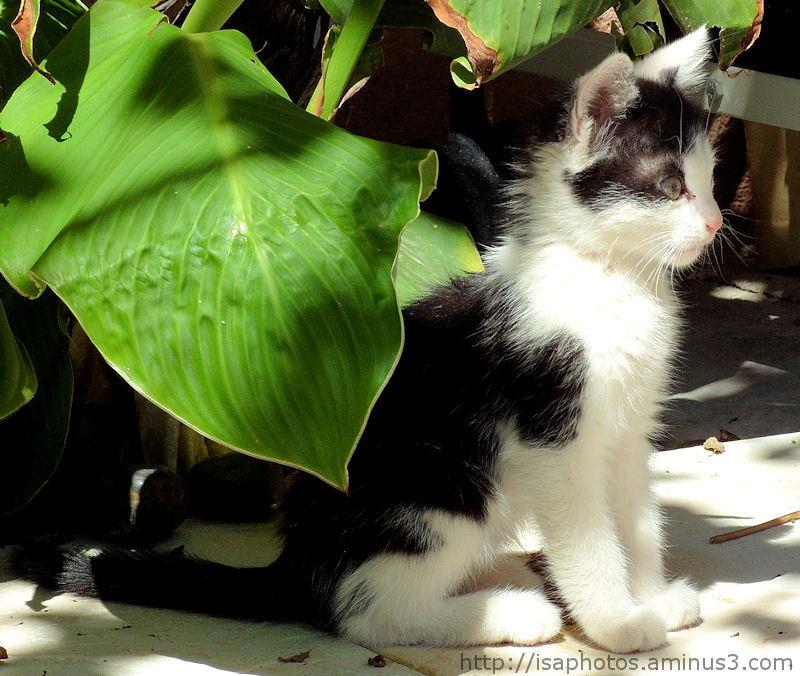 Chaton noir & blanc.